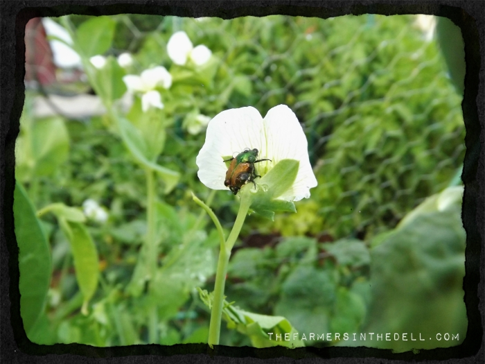 japanese beetle -TheFarmersInTheDell.com