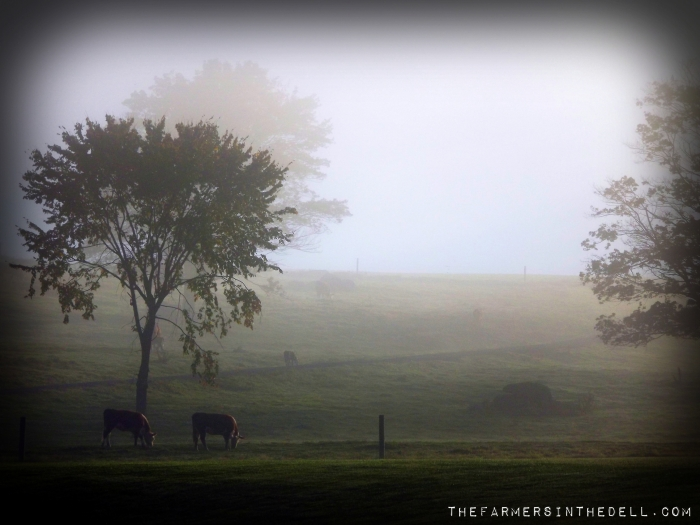 cows in the mist - TheFarmersInTheDell.com