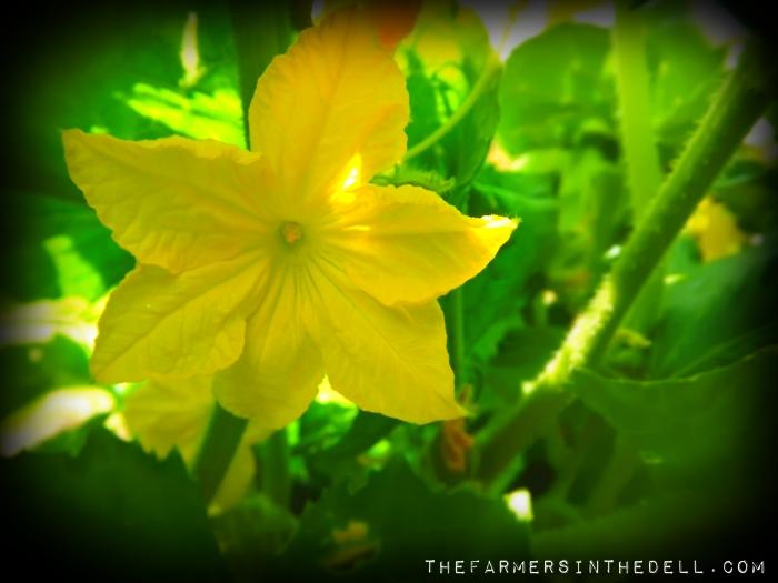 delikatesse cucumber blossom - TheFarmersInTheDell.com