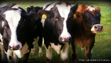 dairy cows - TheFarmersInTheDell.com