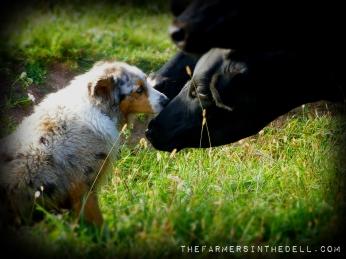 cow kisses - TheFarmersInTheDell.com