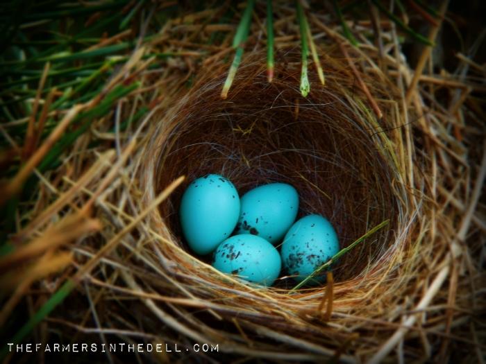 robin's eggs - TheFarmersInTheDell.com