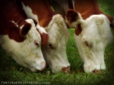 grazing cows - TheFarmersInTheDell.com