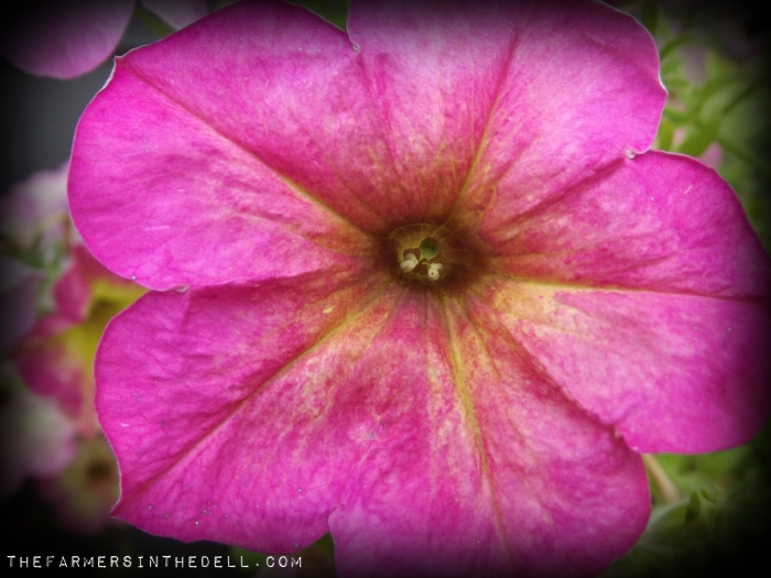 pink lemonade petunia - TheFarmersInTheDell.com