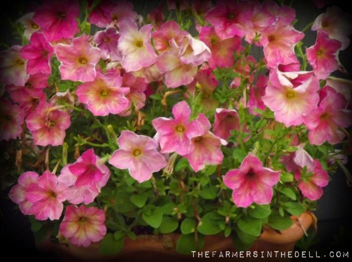 pink lemonade petunias - TheFarmersInTheDell.com