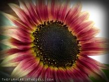 evening sun sunflower - TheFarmersInTheDell.com