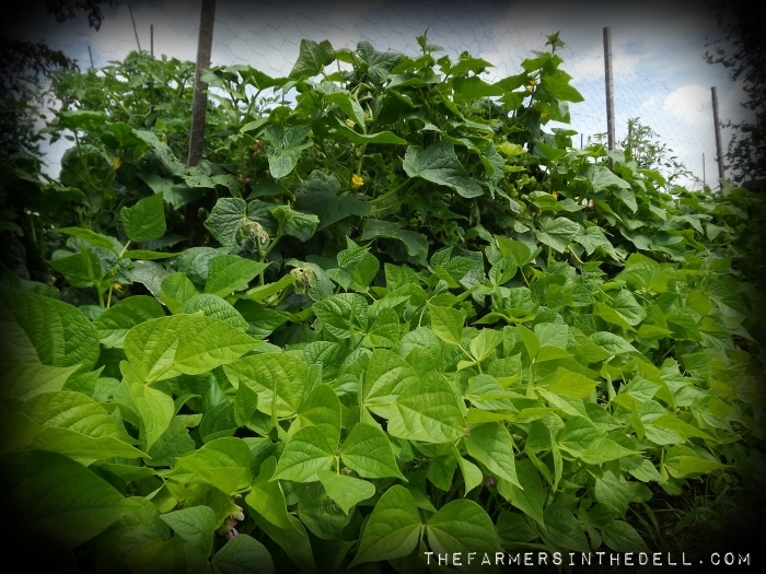cucumber trellis - TheFarmersInTheDell.com