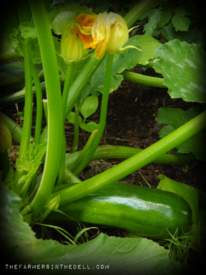 ford hook zucchini - TheFarmersInTheDell.com