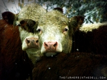 white face herefords - TheFarmersInTheDell.com
