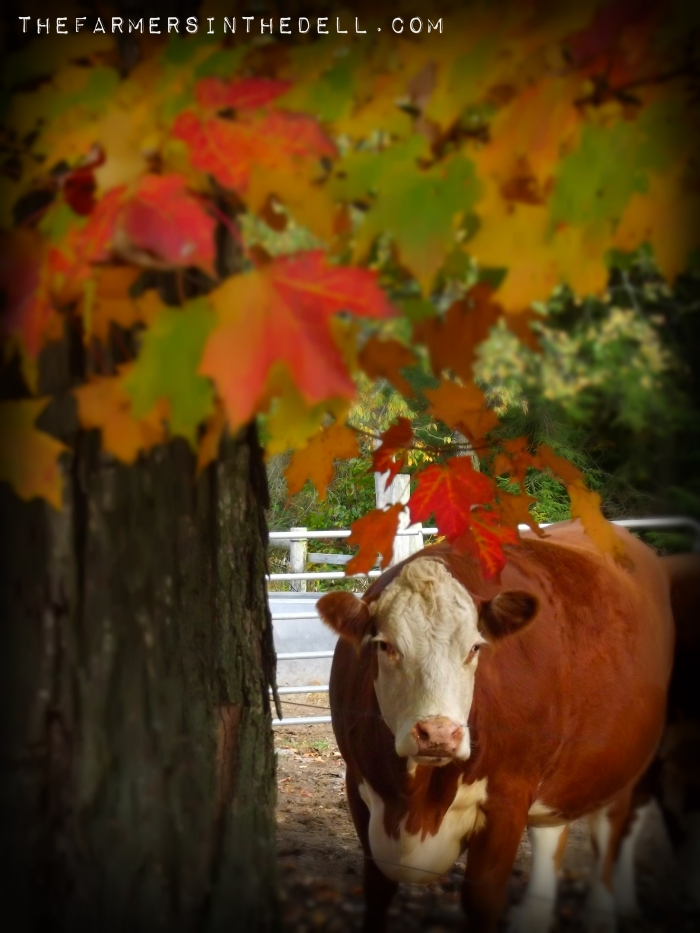 cow under fall leaves - TheFarmersInTheDell.com