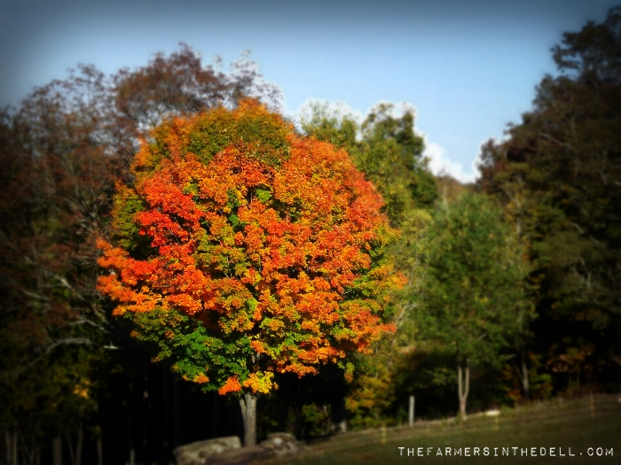 fall tree - TheFarmersInTheDell.com