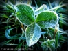 fall frost on clover - TheFarmersInTheDell.com