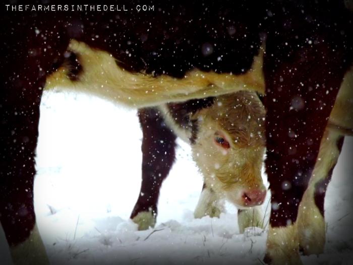 calf in winter - TheFarmersInTheDell.com