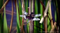 blue dragonfly - TheFarmersInTheDell.com