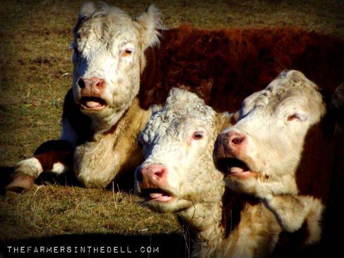 caroling cows - TheFarmersInTheDell.com