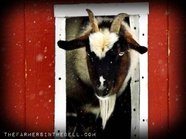 fainting goat - TheFarmersInTheDell.com