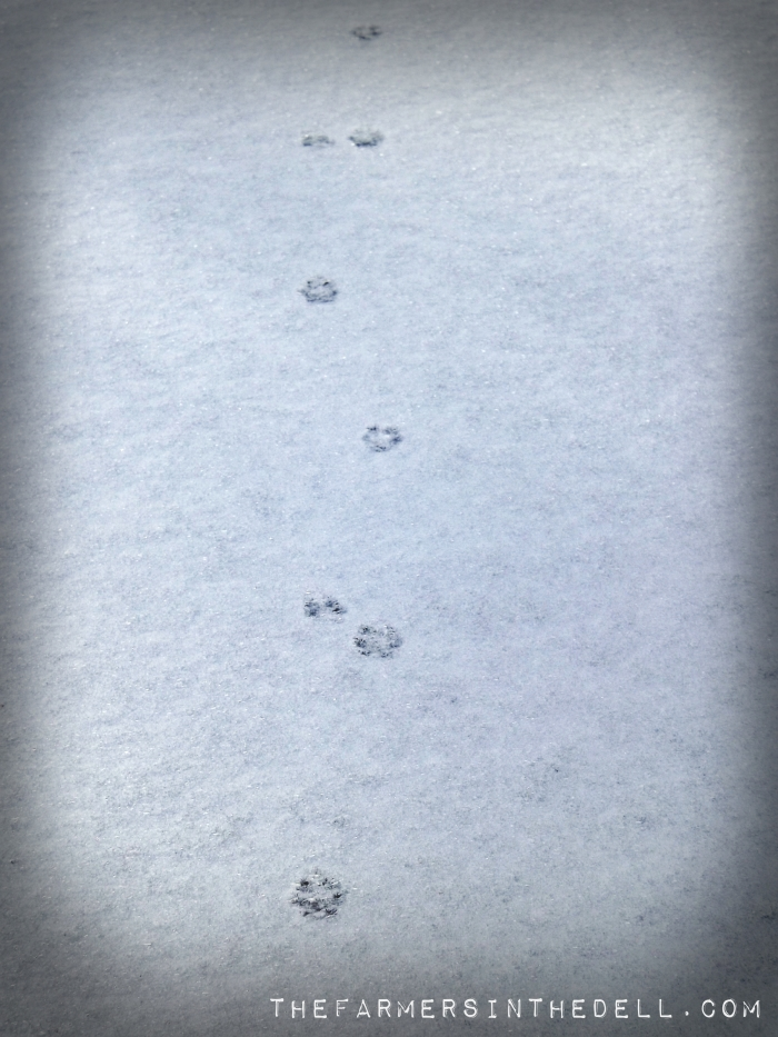 fox tracks in snow - TheFarmersInTheDell.com