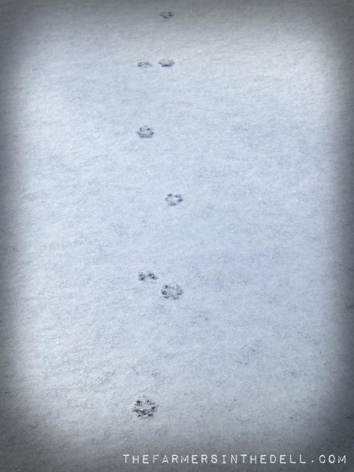 fox tracks in snow - TheFarmersInTheDell.com