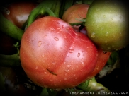 german pink tomatoes - TheFarmersInTheDell.com