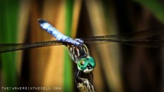 green dragonfly - TheFarmersInTheDell.com