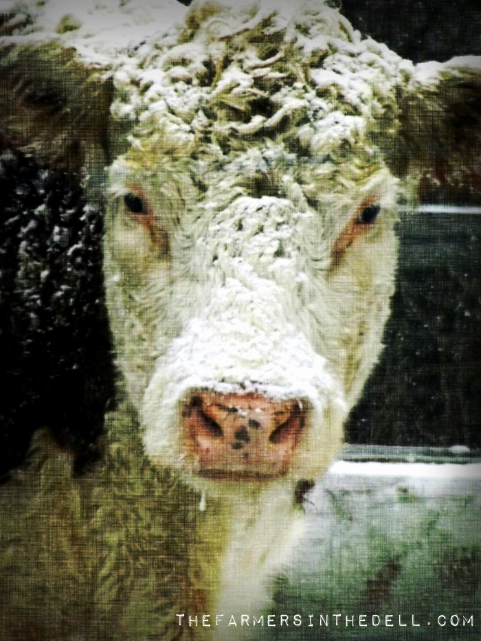 cow in snow - TheFarmersInTheDell.com