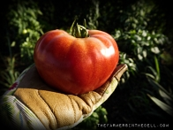 homegrown tomato - TheFarmersInTheDell.com