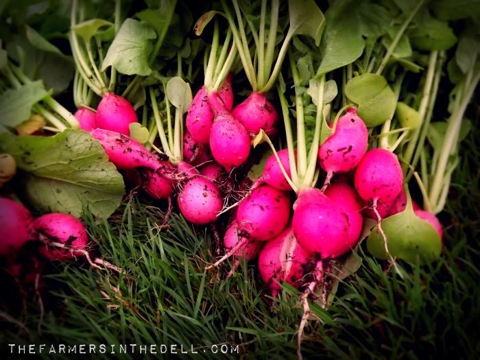 pink beauty radish - TheFarmersInTheDell.com