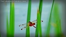 red dragonfly - TheFarmersInTheDell.com