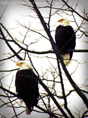 bald eagles - TheFarmersInTheDell.com