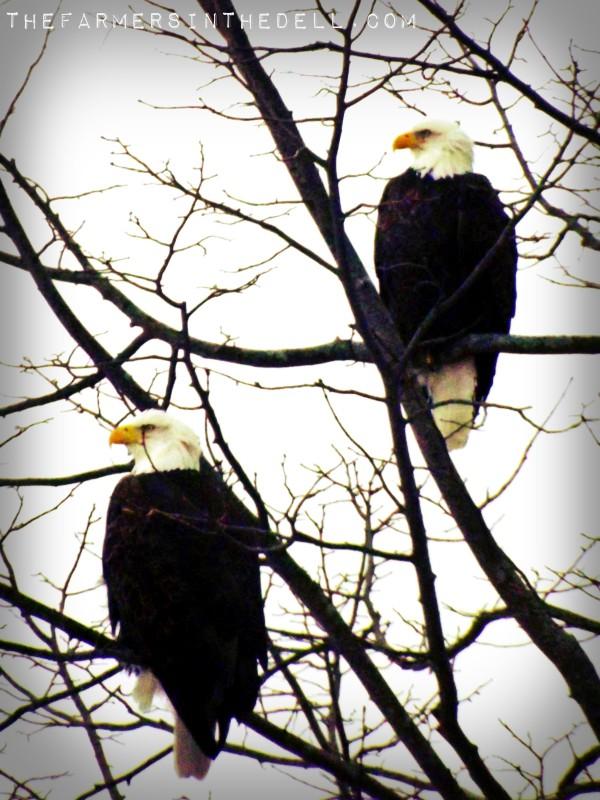 bald eagles - TheFarmersInTheDell.com