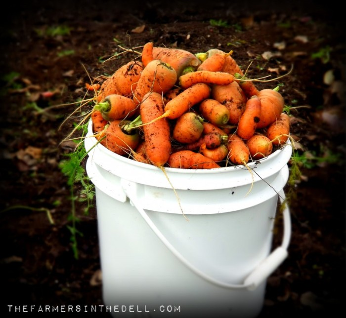 carrots from the garden - TheFarmersInTheDell.com