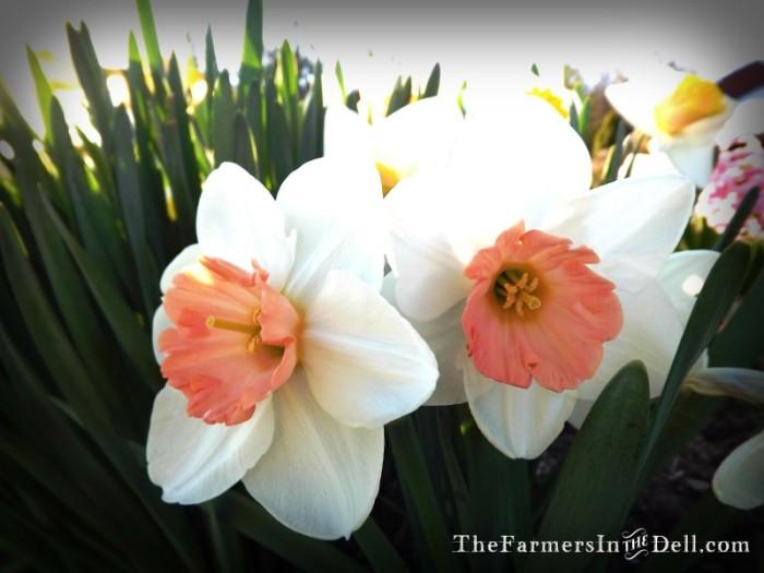daffodils - TheFarmersInTheDell.com
