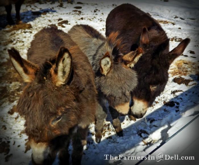 miniature donkeys - TheFarmersInTheDell.com