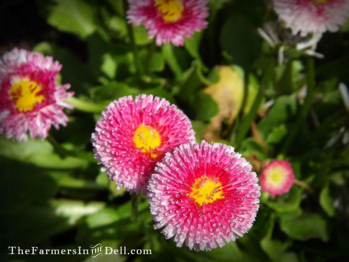 english daisy - TheFarmersInTheDell.com