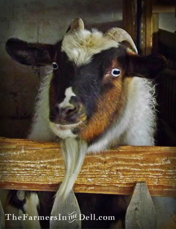 fainting goat - TheFarmersInTheDell.com