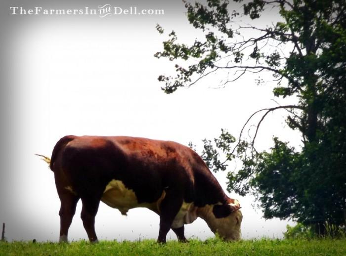 hereford bull - TheFarmersInTheDell.com
