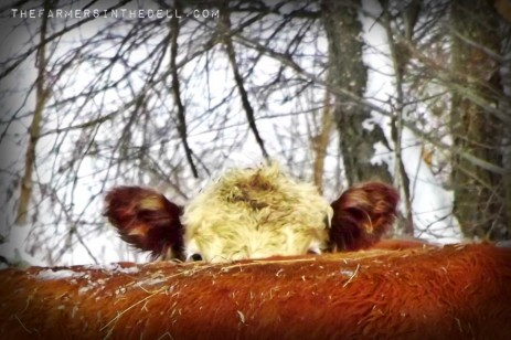 hereford peek-a-boo - TheFarmersInTheDell.com