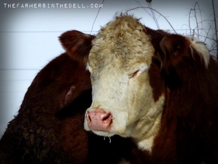 sunbathing cows - TheFarmersInTheDell.com