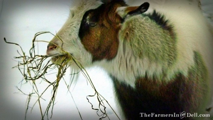 fainting goat in winter - TheFarmersInTheDell.com