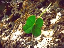 four leaf clover - TheFarmersInTheDell.com