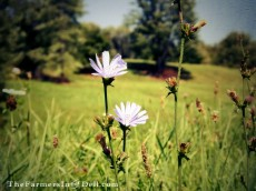 wildflowers - TheFarmersInTheDell.com