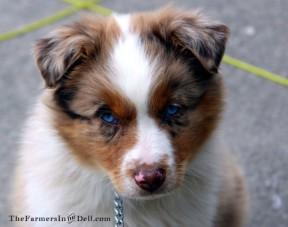 australian shepherd puppy - TheFarmersInTheDell.com