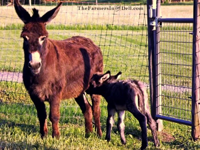 donkeys - TheFarmersInTheDell.com
