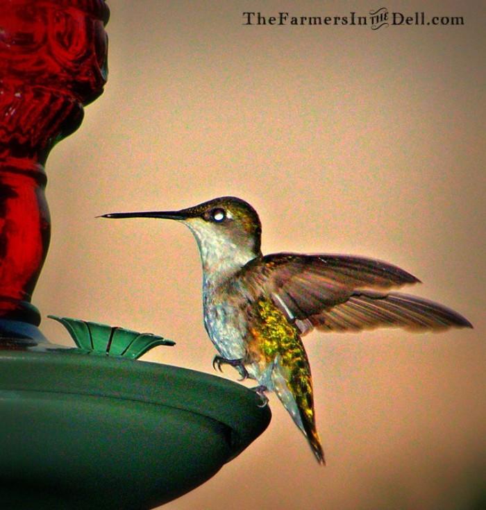 hummingbird - TheFarmersInTheDell.cm