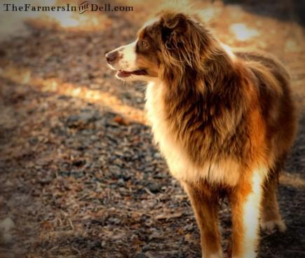 australian shepherd - TheFarmersInTheDell.com