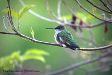 hummingbird - TheFarmersInTheDell.com