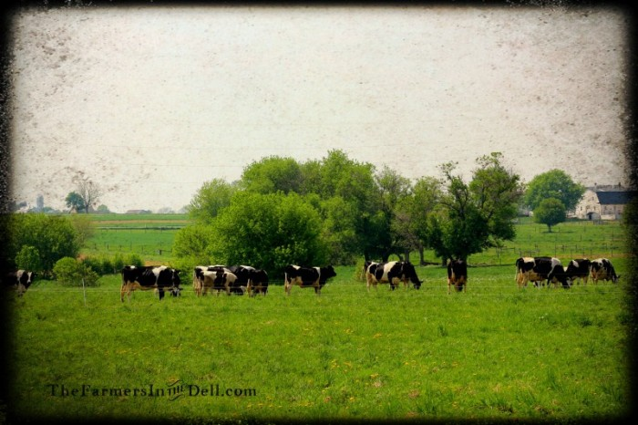grazing cows, lancaster, pa - TheFarmersInTheDell.com