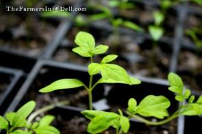 tomato seedlings - TheFarmersInTheDell.com