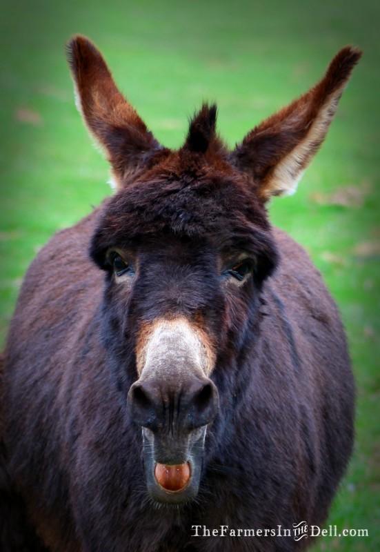 braying donkey - TheFarmersInTheDell.com