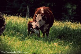 calf and cow - TheFarmersInTheDell.com